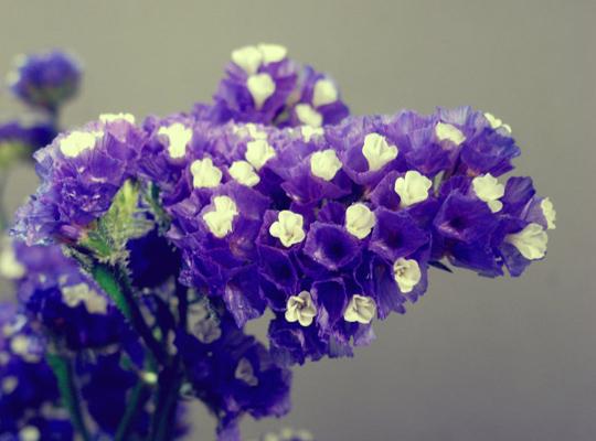 紫色勿忘我