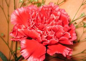 康乃馨的花语及传说