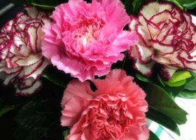 不同颜色康乃馨的花语