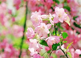 粉色海棠花
