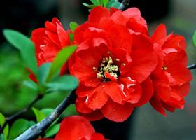 红色海棠花