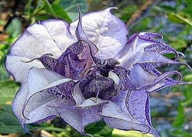 紫色曼陀罗