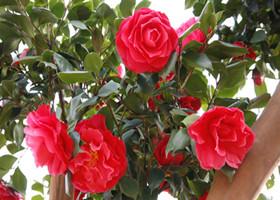 红色山茶花