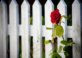 玫瑰应该送给什么人
