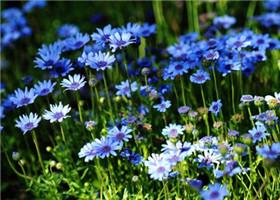 蓝色的雏菊
