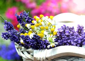 紫色薰衣草送给谁